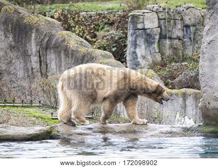 Early spring in Alaska wild bear catches a fish. Polar bear is in Alaska, rocks, grass, cold spring.Polar bear goes for a swim in the sea.
