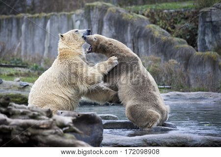 Two male polar bears fight and bite. Polar bears close up . Alaska, polar bear. Big white bears in the spring in the forest . Polar bears is in Alaska, rocks, grass, cold spring.