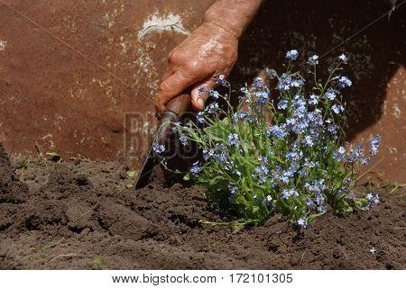 Senior man transplanting flowers in his garden