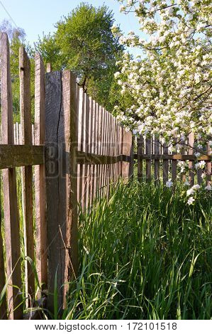 Wooden fence near the flowering apple-tree in the garden