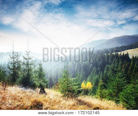 Sunlight in the green forest early morning. Fantastic fog in the mountains. October in the early winter days. Carpathians. Ukraine, Europe.
