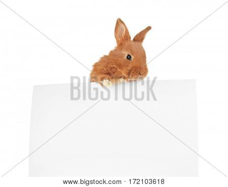 Cute funny rabbit with poster on white background