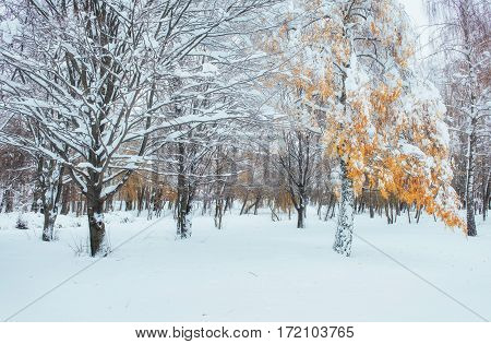 October mountain beech forest with first winter snow. In anticipation of holidays.