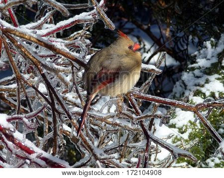 Cardinal bird sitting on the branch at winter
