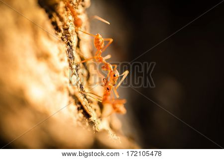 Close up of weaver ants communicating on tree