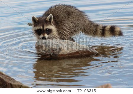 Racoon checking you out from behind a rock in the lake