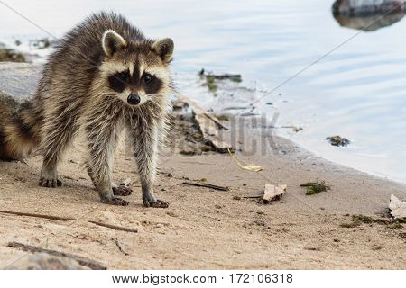 Racoon acting startled on the shoreline of a lake