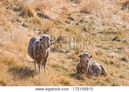 closeup of two merino sheep resting on dry grass