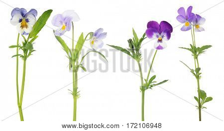 lilac pansy flowers collection isolated on white background