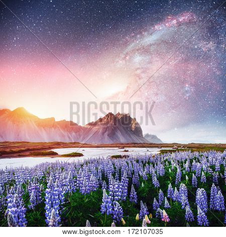 The picturesque landscapes of forests and mountains of Iceland. Wild blue lupine blooming in in summer. Fantastic starry sky and the milky way.  Courtesy of NASA.