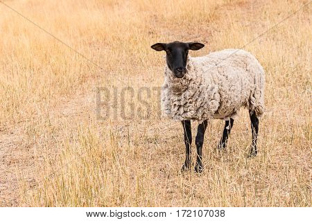 Suffolk black-faced sheep standing on dry meadow