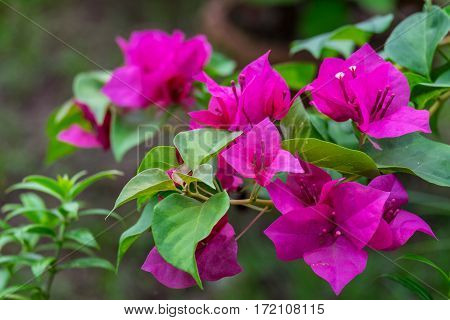 Pink bougainvillea flower with green leaf front focus blurred background