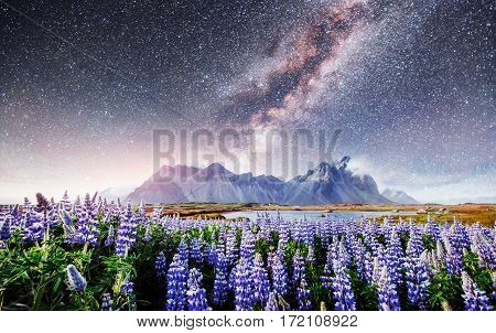 The picturesque landscapes of forests and mountains of Iceland. Wild blue lupine blooming in in summer. Fantastic starry sky and the milky way.