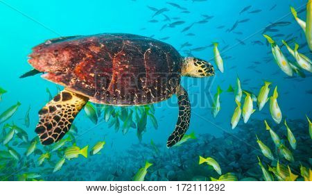 Maldivian hawkbill turtle floating in flock of yellow fish. Underwater life and ocean ecosystem