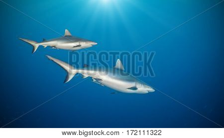 Two sharks floating in deep water blue with sunrays