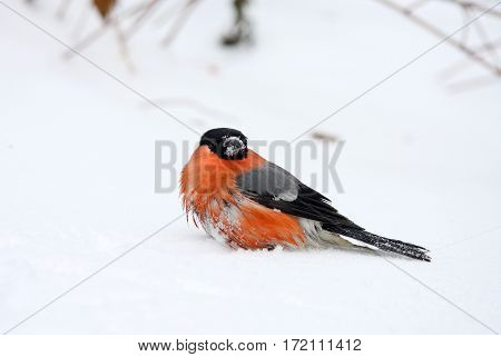 The bullfinch with a red breast sits on snow