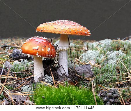 Two red fly agarics have grown on a moss