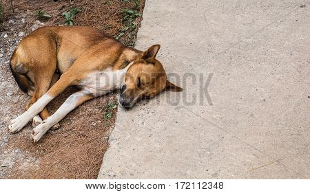 Brown and white homeless dog sleeping happily on the road.