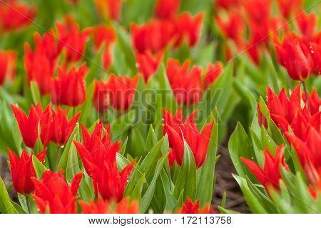 Soft Tulip Flowers