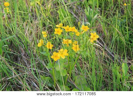 Marsh Marigold (Caltha palustris) on the meadow