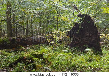 Old wind broken oak tree in autumnal forest with a lot decline wood, Bialowieza Forest, Poland, Europe