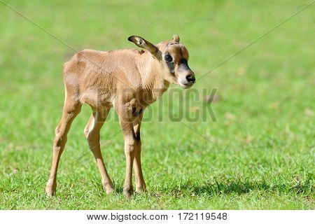 Baby Gemsbok In Grass
