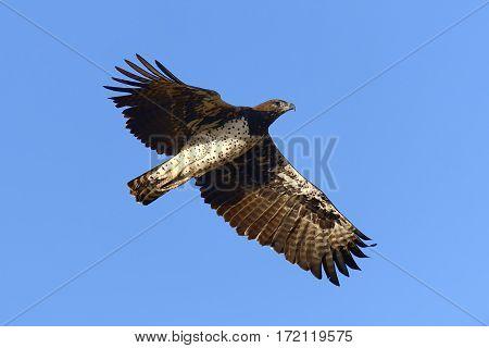 Tawny Eagle (aquila Rapax) Fly
