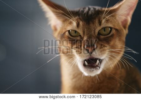 young abyssinian cat licking lips closeup portrait, shallow focus
