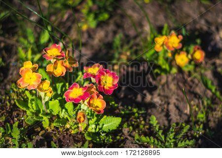 Spring flower. Primula veris blooming in garden.