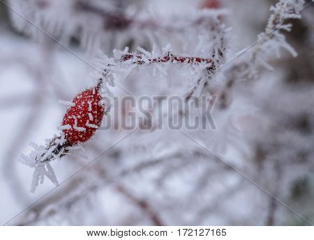 berry rosehip-covered frost winter red nature food