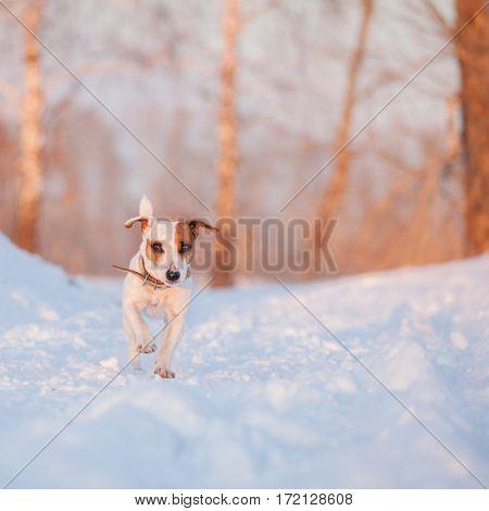 Dog walking at winter. Running pet