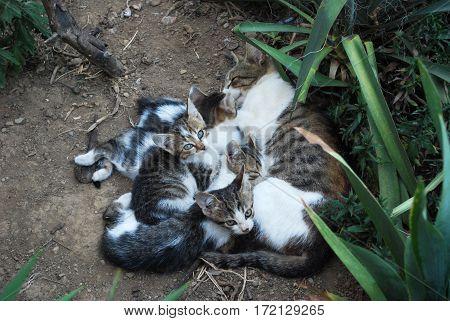 Domestic cat breastfeeding kittens on the ground in backyard
