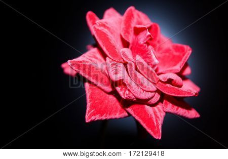single pink rose alone arrangement beauty bloom macro