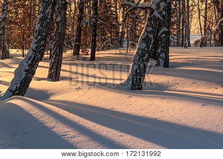 Beautiful natural view with the trunks of birch trees in snowdrifts sunlight and shadows on the snow in the winter forest at sunset