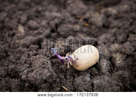 Prepared Germinating Potato In The Planting Process