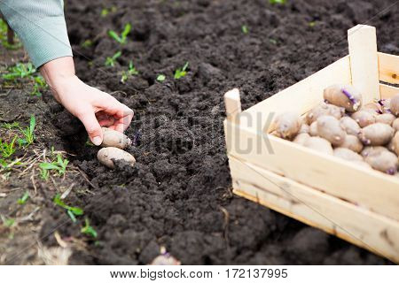 Female Hand Planting Potato Tubers Into The Soil
