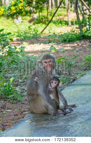 Mother and baby monkey hugs family in a park  -Monkey island, Vietnam, Asia