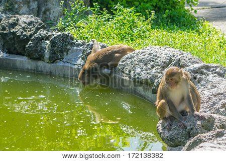 Monkeys family at a drink - Monkey island, Vietnam, Asia