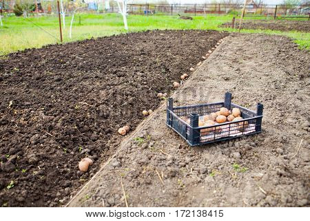 Finished Process Of Planting Potato Field In The Vegetable Garden