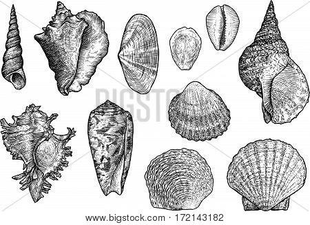 Seashell collection, engraving, illustration, drawing, ink, shell