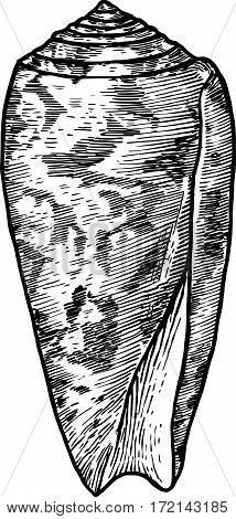 Striated cone shell illustration, drawing, engraving, ink, realistic