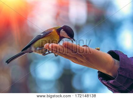 wild bird titmouse eats on the palm on a background of beautiful bokeh at sunset.