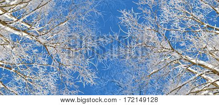 Winter trees covered by snow and hoarfrost on bright blue sky background. Branches of trees covered with snow and hoarfrost decorative panoramic view