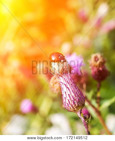Ladybug On A Thistle Flower In Summer