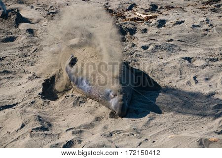 sanding elephant seals laying on the beach sunbathing in USA California