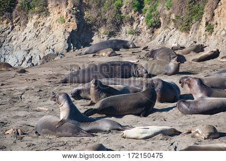 elephant seals laying on the beach sunbathing in USA California
