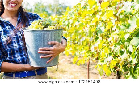 Grapes Harvest In Vineyard. Young Beautiful Woman Holds A Bucket With White Grapes.