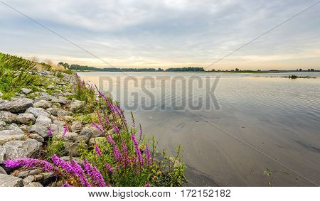 Flowering Purple Loosestrife or Lythrum salicaria plants between the stones of a dike along a flooded area in the Netherlands early in the morning in the summer season.