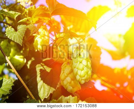 Hop Cones On A Bush, Natural Background