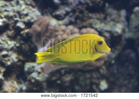 Yellow Surgeonfish